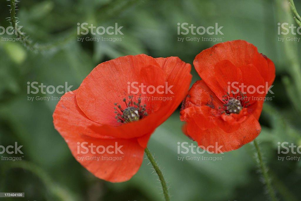 Poppy royalty-free stock photo