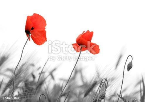 istock Poppy 174622464