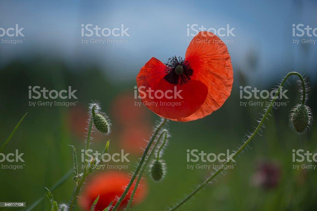 Poppy – Foto