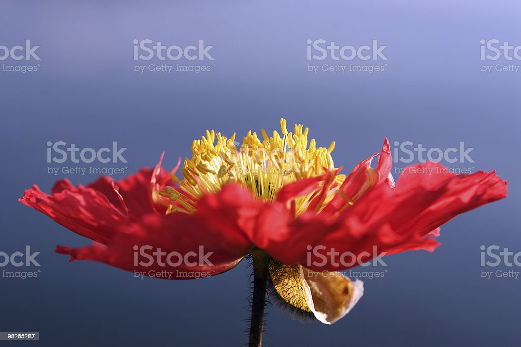 Mohn royalty-free stock photo