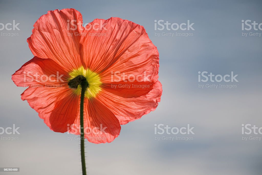 Mohn foto stock royalty-free