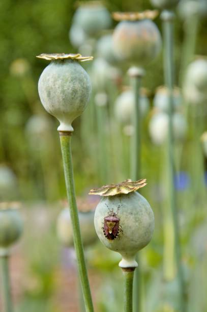 poppy plant seedheads in a garden selective focus of seedheads of the poppy plant with shield bug in an allotment in summer werken stock pictures, royalty-free photos & images