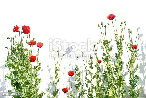 istock Poppy plants cut out on white 1203340692