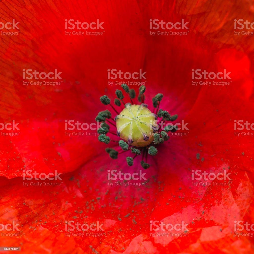 Poppy Pollen stock photo