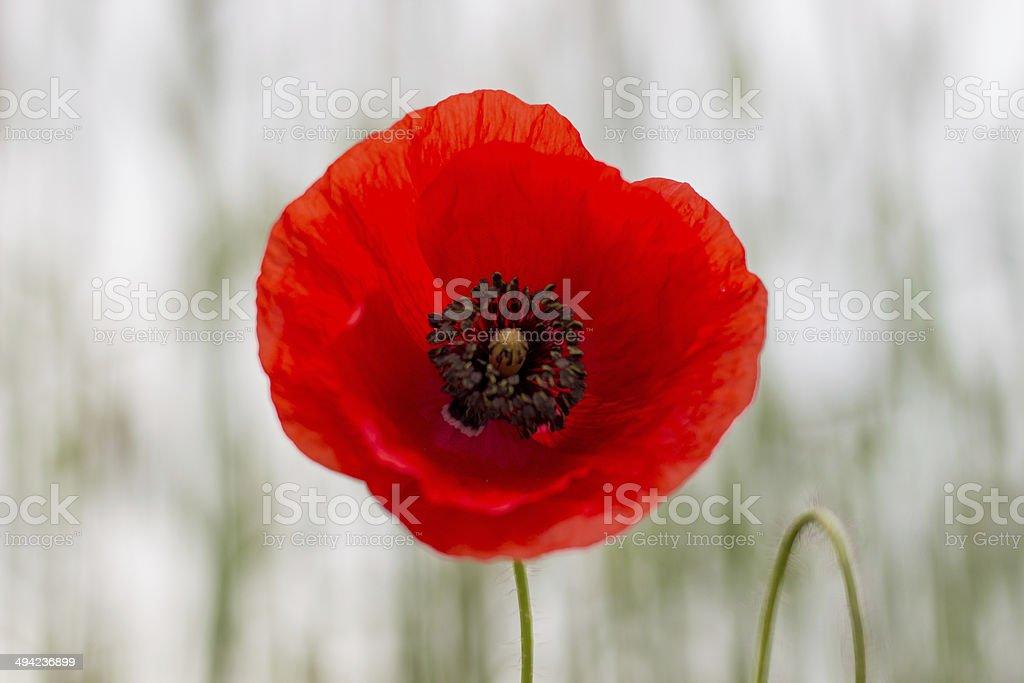 Poppy - red beauty stock photo