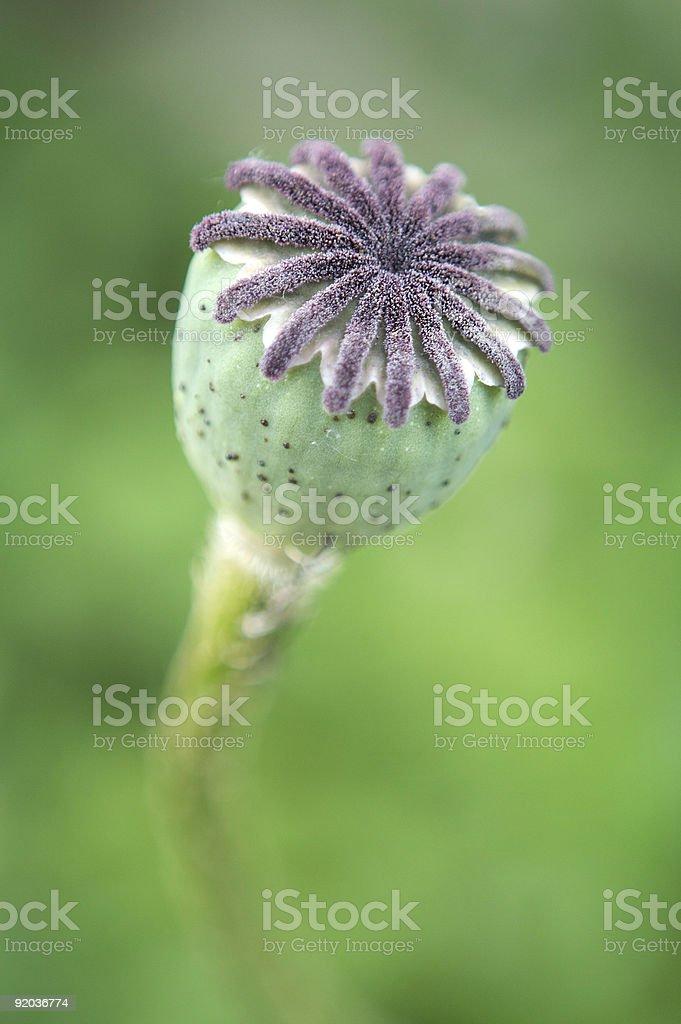 Poppy Seed Head royalty-free stock photo