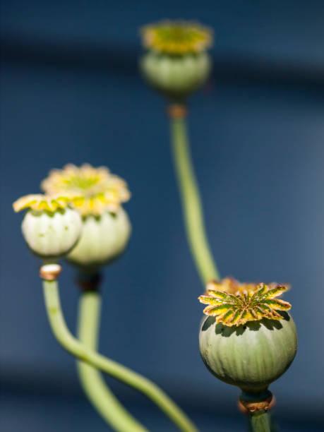 Poppy Seed Head stock photo