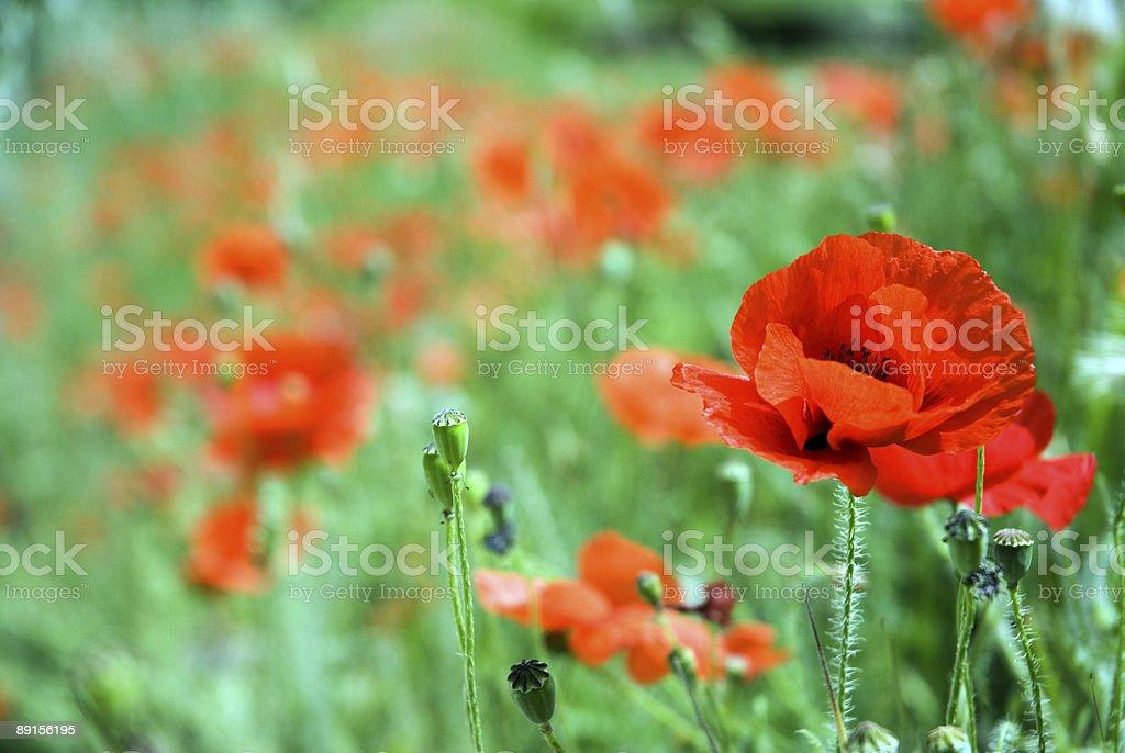 Poppy Series stock photo