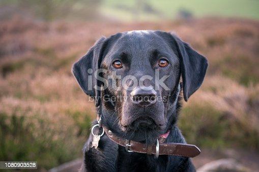 Black Labrador in the countryside