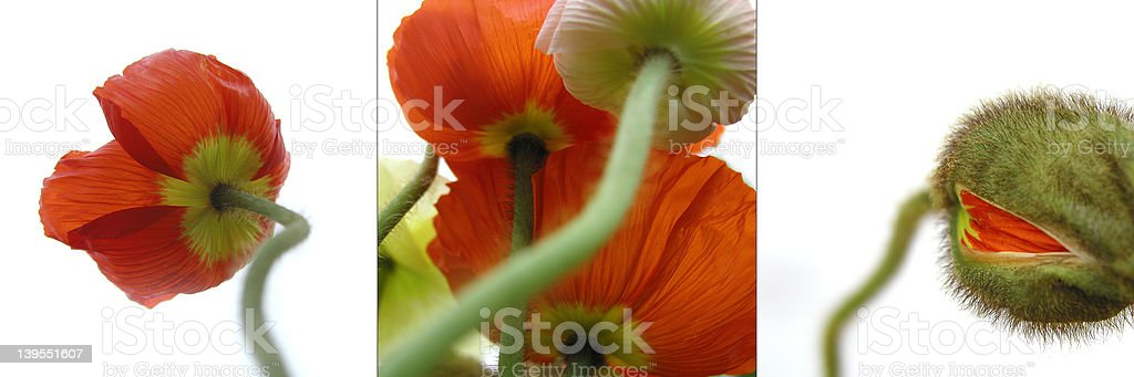 poppy triptychon stock photo