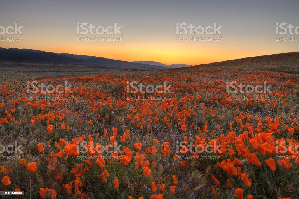 Poppy Valley royalty-free stock photo