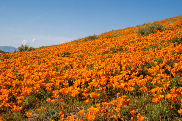 poppy wildflower field against a bright blue sky at the antelope valley poppy reserve in california during super bloom - заповедник дикой природы стоковые фото и изображения