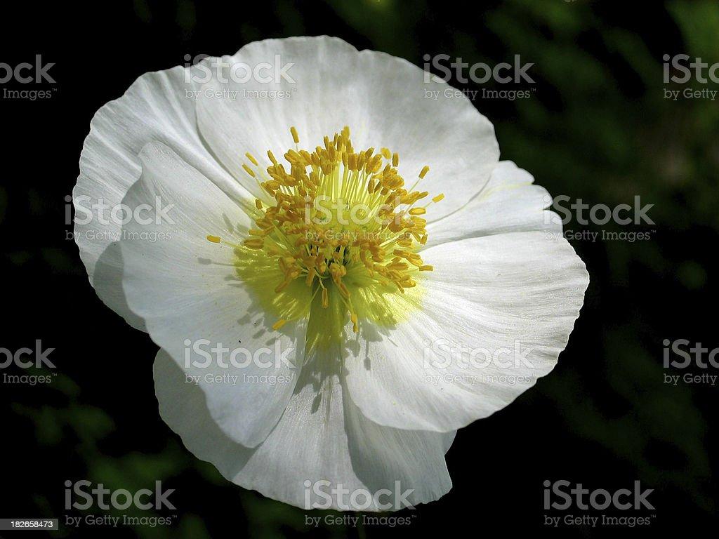 Poppy with grace royalty-free stock photo