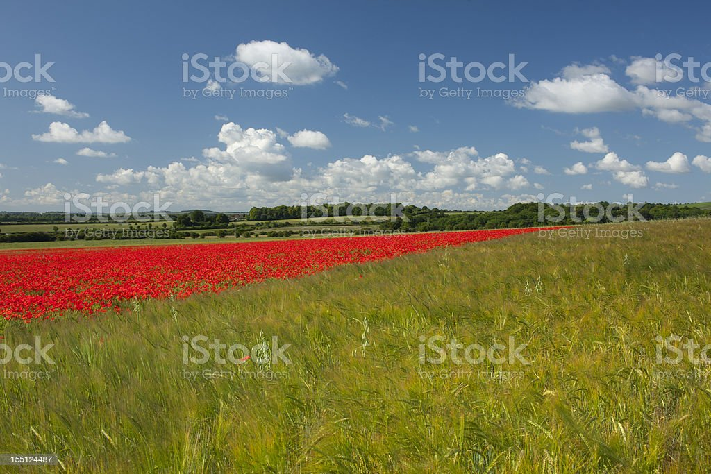 Poppyfield and summer skies..... stock photo