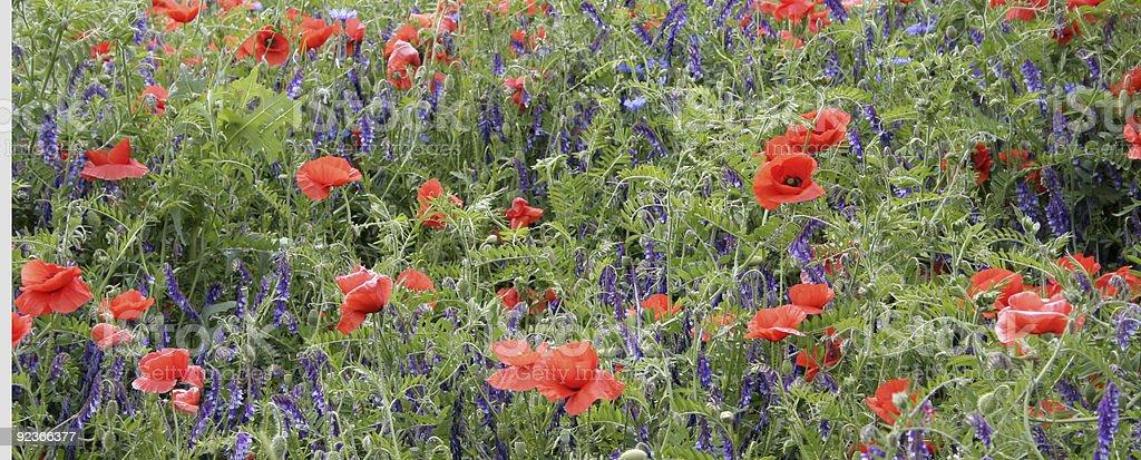 Poppyflower in a cornfield royalty-free stock photo