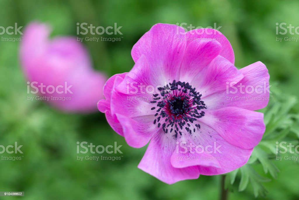 Poppy-flowered anemone stock photo
