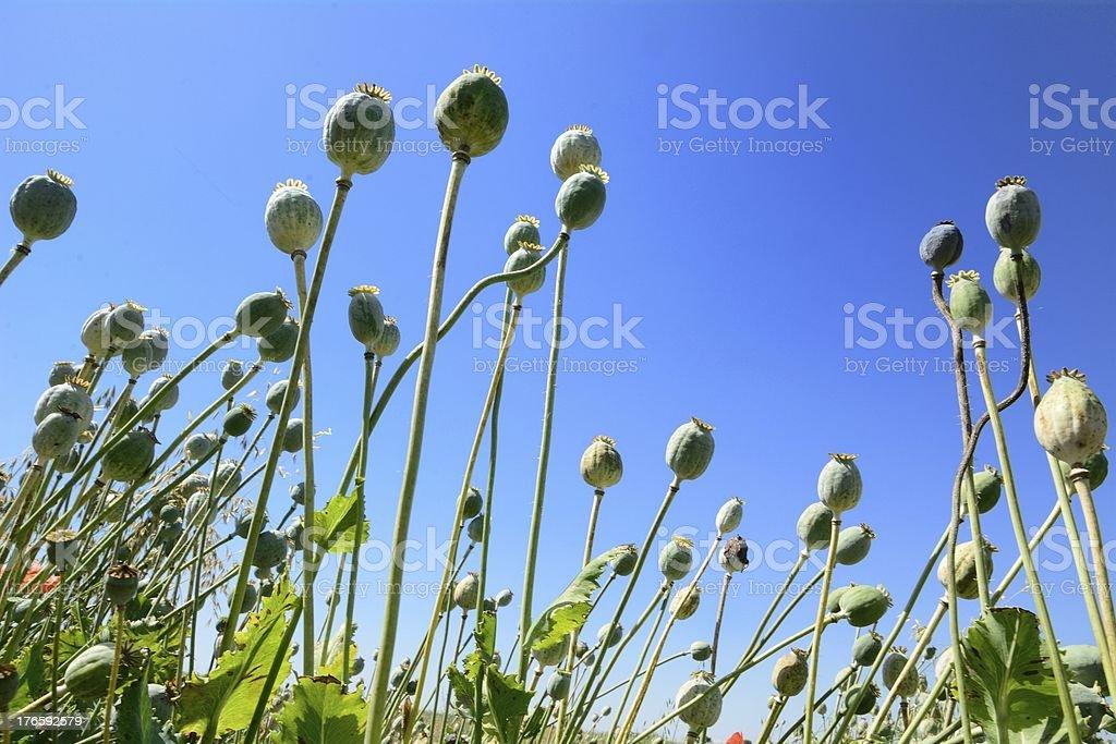 Poppyhead royalty-free stock photo
