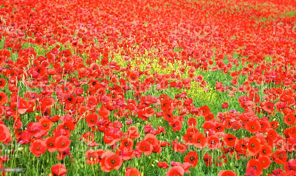 Poppy's Field royalty-free stock photo