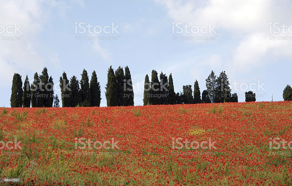 Campo di papaveri foto stock royalty-free
