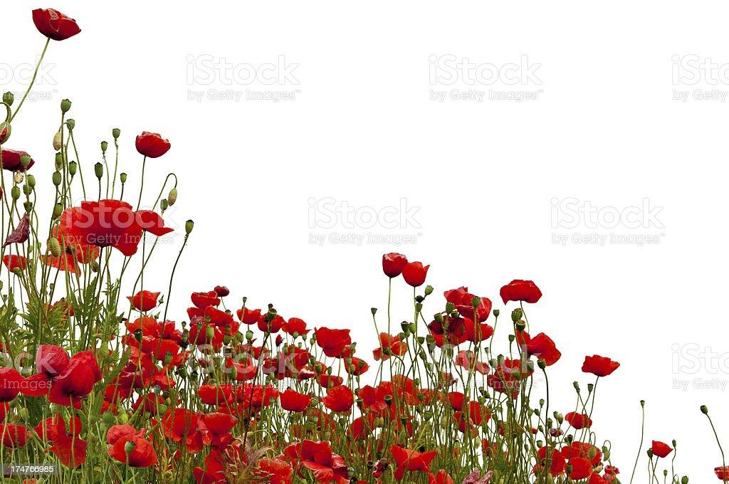 Poppys isolated on white royalty-free stock photo