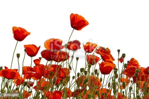 a lot of poppy blossoms, buds and capsule on a poppy field, more poppys on white: