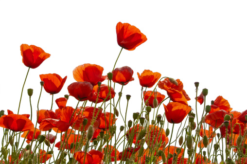 Poppys isolated on white