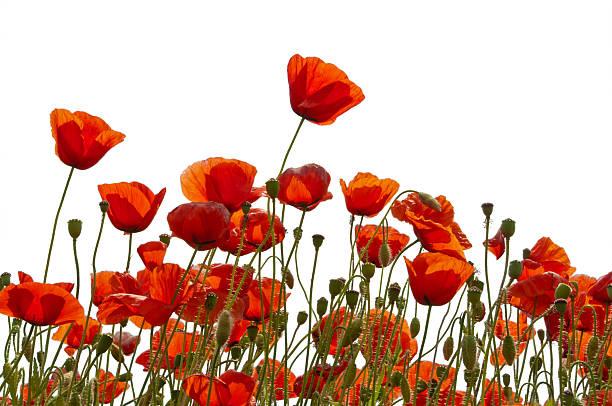 poppys, isoliert auf weiss - mohn stock-fotos und bilder