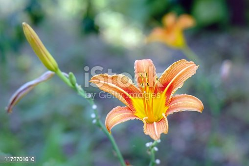 Popular daylily orange flower on natural green background. close-up in the garden