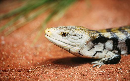 Very popular pet gecko, gecko a night active lizard