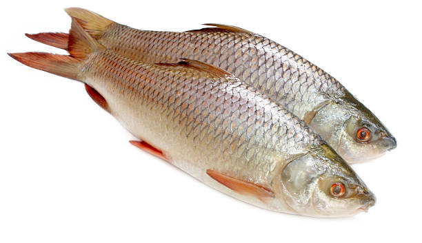 Popular rohu or rohit fish of indian subcontinent picture id178105909?b=1&k=6&m=178105909&s=612x612&w=0&h=42rqrxqhntlvaiowbw s5wvmxvvn9amun3oud3lk1fq=