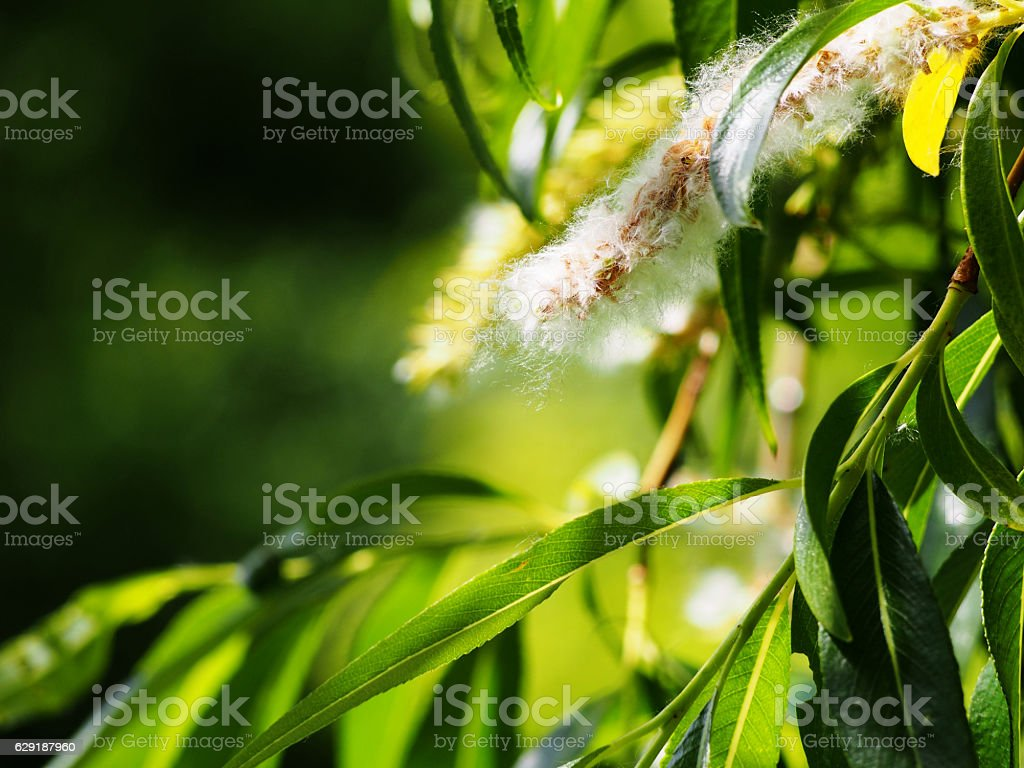 Populus (poplar, cottonwood, aspen) stock photo