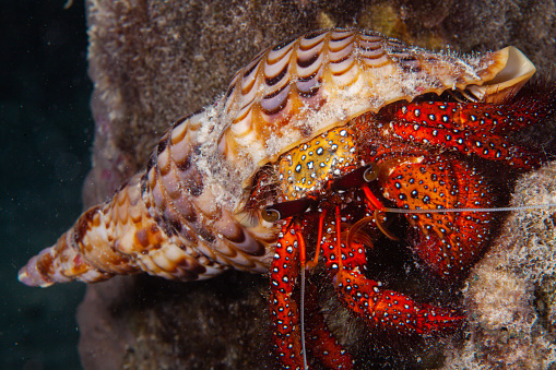 Porcelain Crab on Anemone