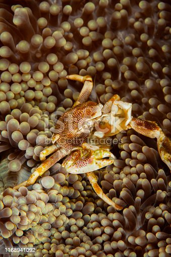Porcelain crab (Neopetrolisthes maculatus) on anemone