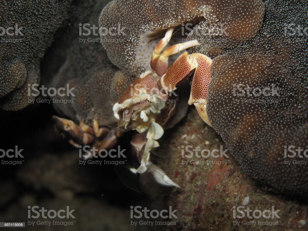 Porcelain crab sitting in an anemone (Neopetrolisthes maculatus). Filter feeding clearly visible. stock photo
