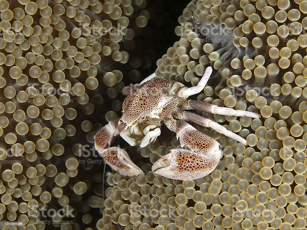 Porcelain crab with eggs (Nepetrolisthes maculatus) royalty-free stock photo