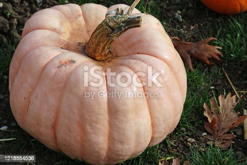 Porcelain doll pink pumpkin squash variety of Cucurbita maxima, with grass and leaves in the background.