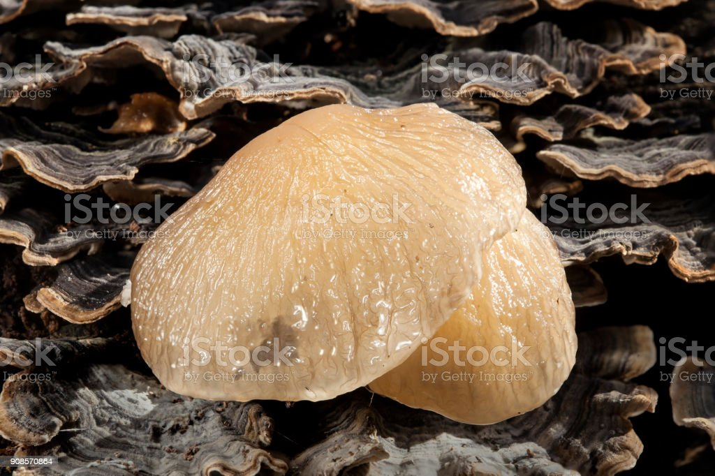 Porcelain fungi stock photo