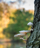 Porcelain fungus (Oudemansiella mucida) on a tree in the Netherlands. Black spores on the cap.