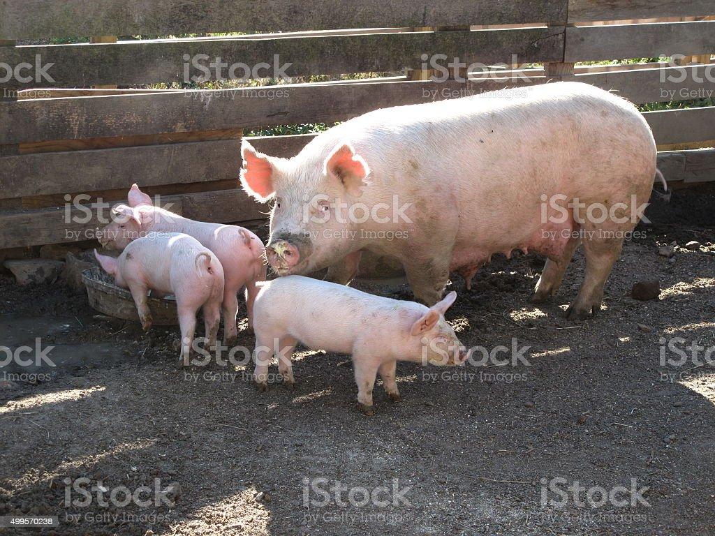 Porcine Family Dinner stock photo