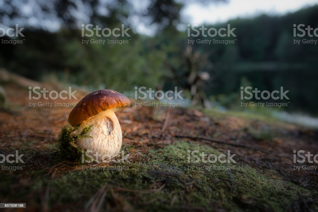 Porcini mushroom by lake in evening light stock photo