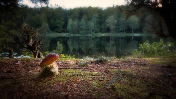 porcini svamp i kvällsljus - pine forest sweden bildbanksfoton och bilder