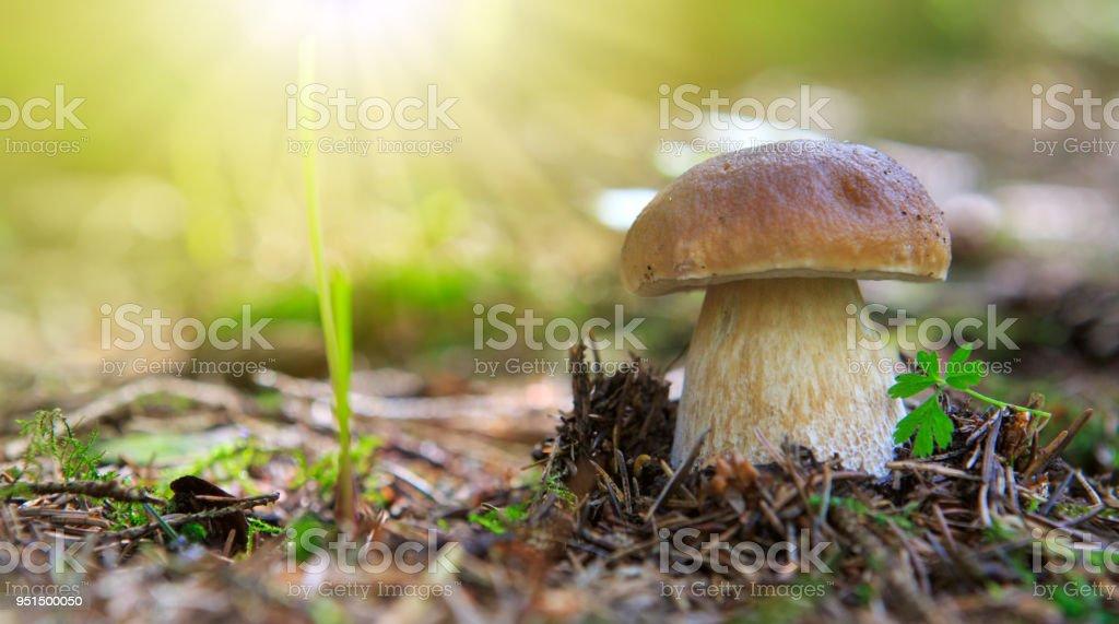 Porcini seta en el bosque de otoño - foto de stock
