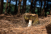 Image of a wild Porcini mushroom (Boletus edulis) at a pine tree forest