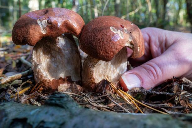 Porcini mushroom picture id1295863915?b=1&k=6&m=1295863915&s=612x612&w=0&h=grcdreooiygguud45kkj850mljq1ruiwtq4aqe5uf70=