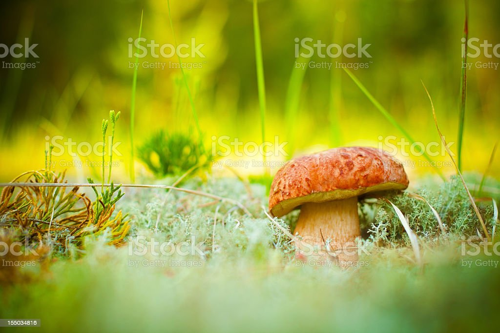 Porcini mushroom royalty-free stock photo