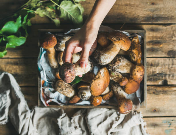 Porcini mushrooms in wooden tray and woman's hand holding mushroom Porcini mushrooms in wooden tray over rustic background and woman's hand holding one mushroom, top view foraging stock pictures, royalty-free photos & images