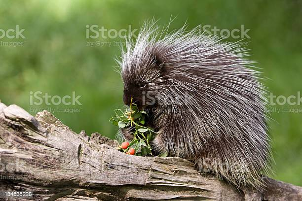 Photo of Porcupine eating on a tree branch