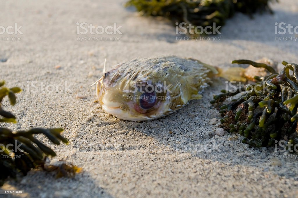 Porcupine fish on the beach royalty-free stock photo