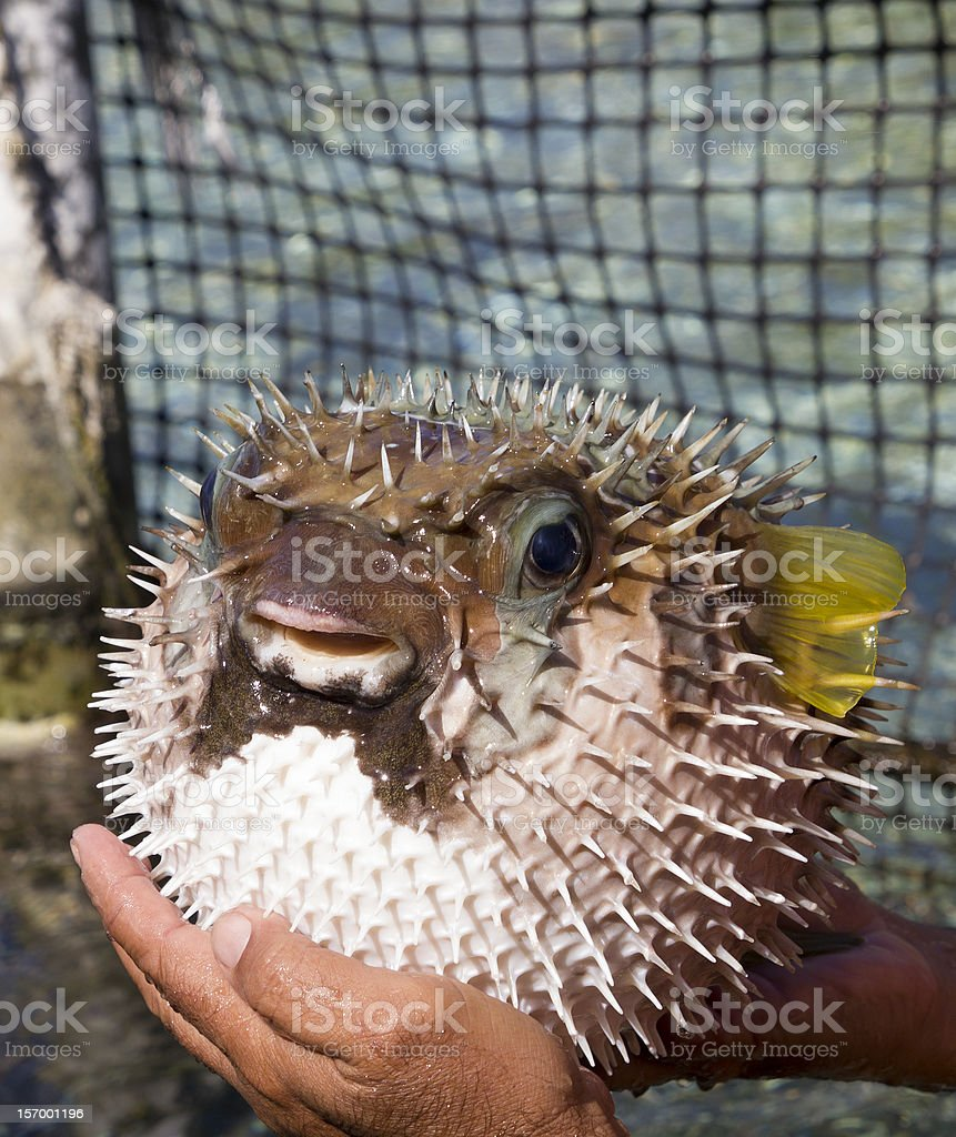 porcupine fish royalty-free stock photo