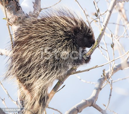 Porcupine in a tree in the winter